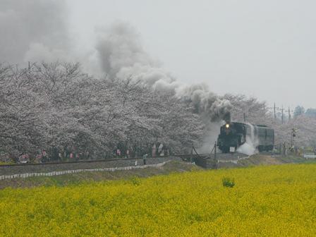 真岡鐵道 菜の花・桜と C12形蒸気機関車 1