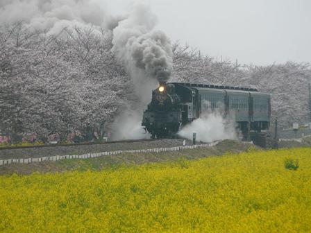 真岡鐵道 菜の花・桜と C12形蒸気機関車 2
