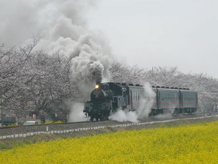 真岡鐵道 菜の花・桜と C12形蒸気機関車 3