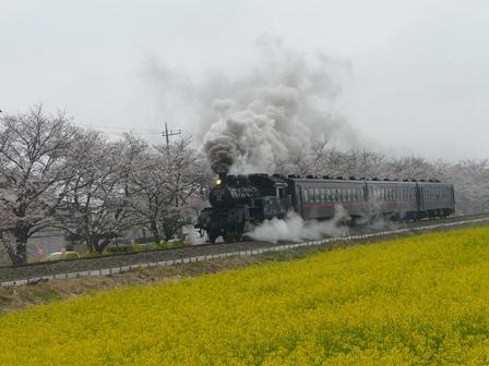 真岡鐵道 菜の花・桜と C12形蒸気機関車 4