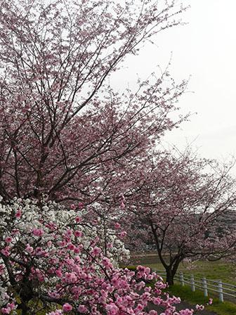 思川桜 & しだれの花桃