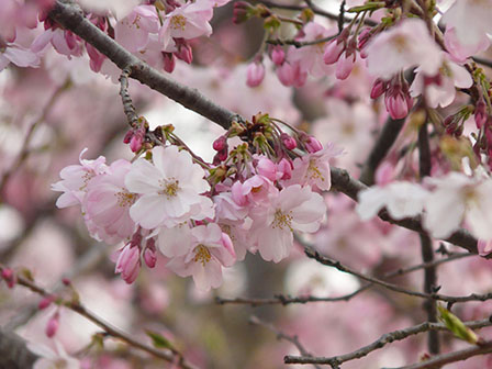 思川桜 4
