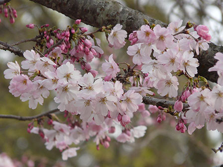 思川桜 2