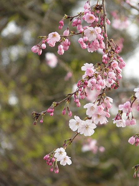 思川桜 3