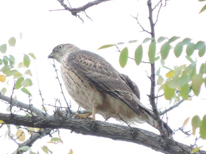 オオタカ幼鳥 (5)s