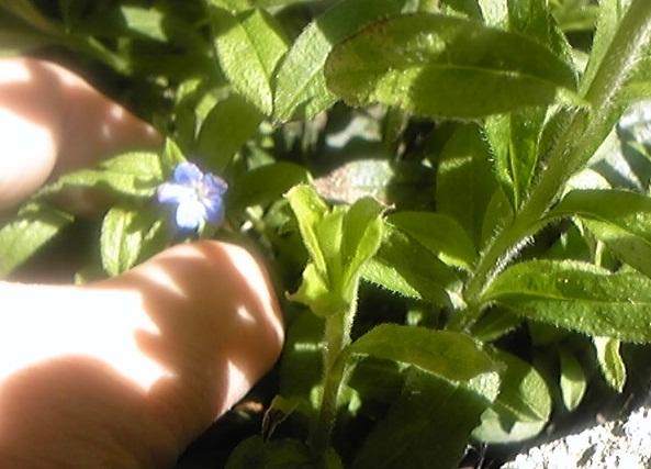 2013年一番に咲いたホタルカズラ
