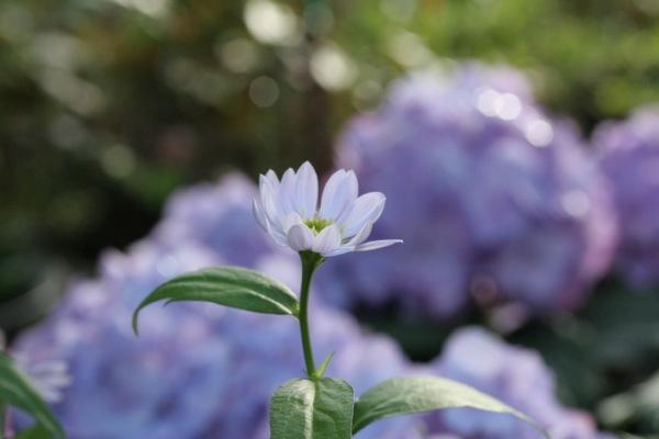 はなと紫陽花