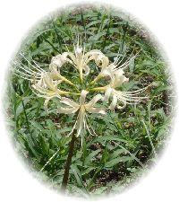 2011-09-23 白の彼岸花