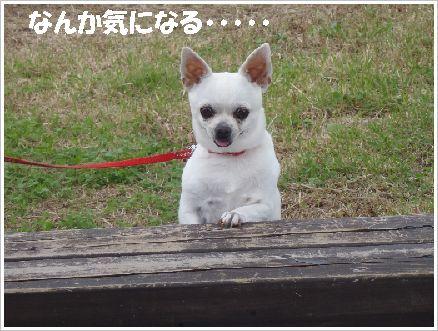 ランチの最中、ベルをガンミの可愛いチワワちゃん☆