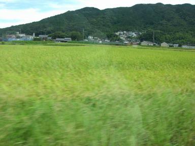 色づいた稲