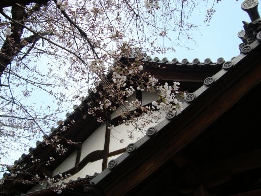 稲荷山桜 058