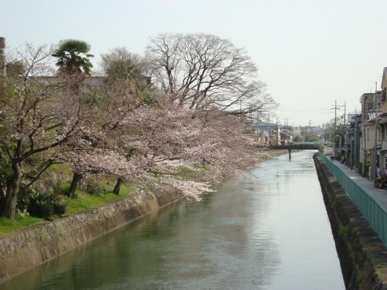 稲荷山桜 083