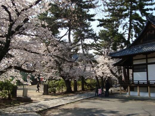 立本寺桜 053