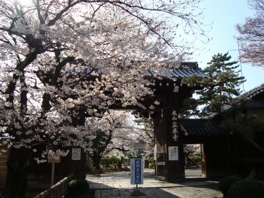 立本寺桜 050