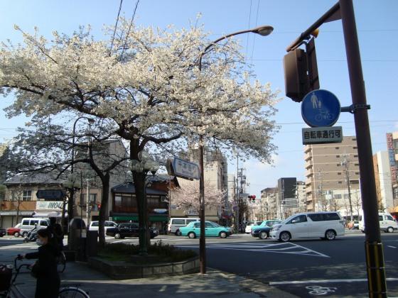 立本寺桜 017