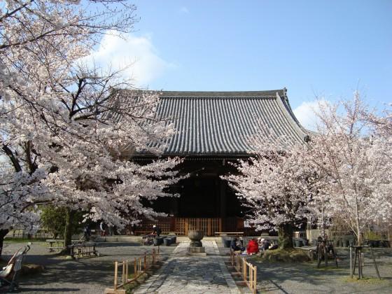 立本寺桜 043