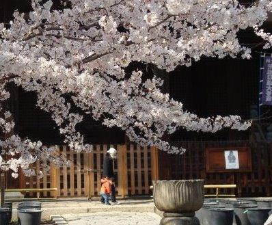 立本寺桜 059