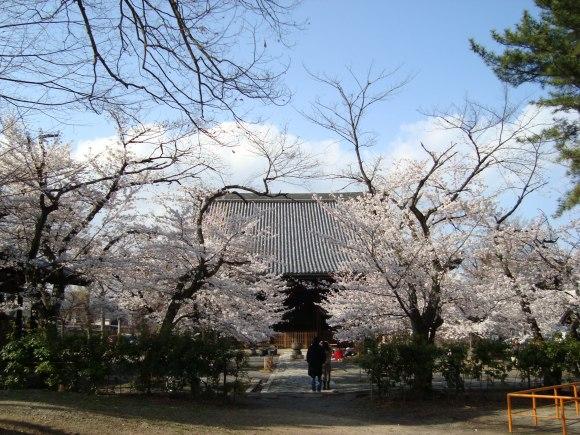 立本寺桜 058