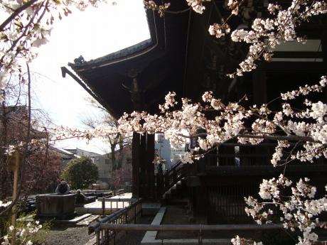 立本寺桜 030
