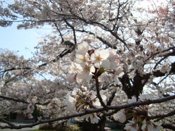 岡崎桜2101 074