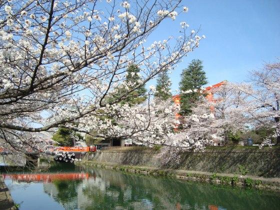 岡崎桜2101 044