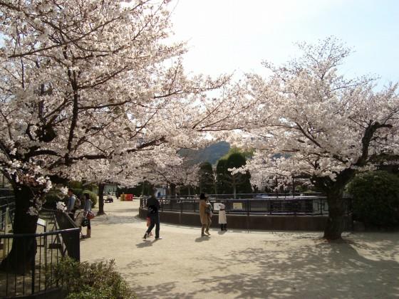 岡崎桜2101 081