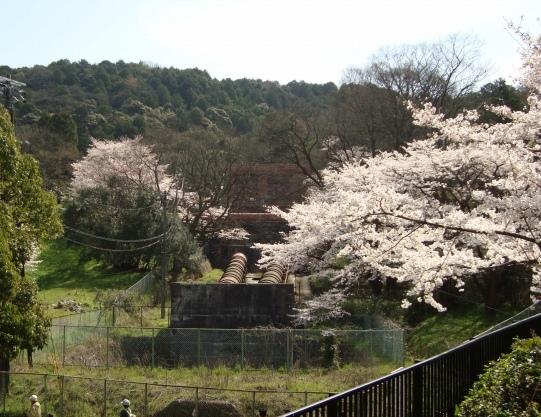 岡崎桜2101 131