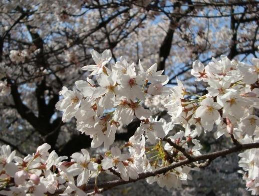岡崎桜2101 012
