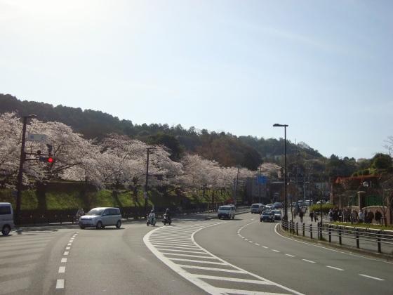 岡崎桜2101 005