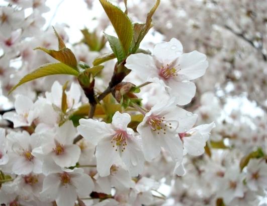 御所嵐山桜2010 156