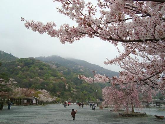 御所嵐山桜2010 148