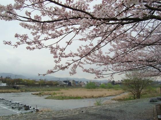 御所嵐山桜2010 142