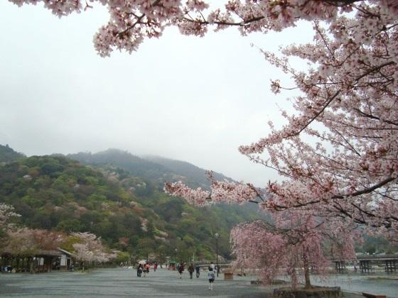 御所嵐山桜2010 147