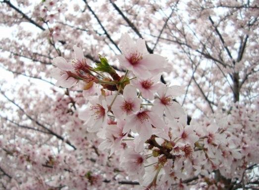 御所嵐山桜2010 149