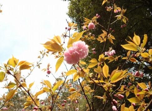 御所嵐山桜2010 192