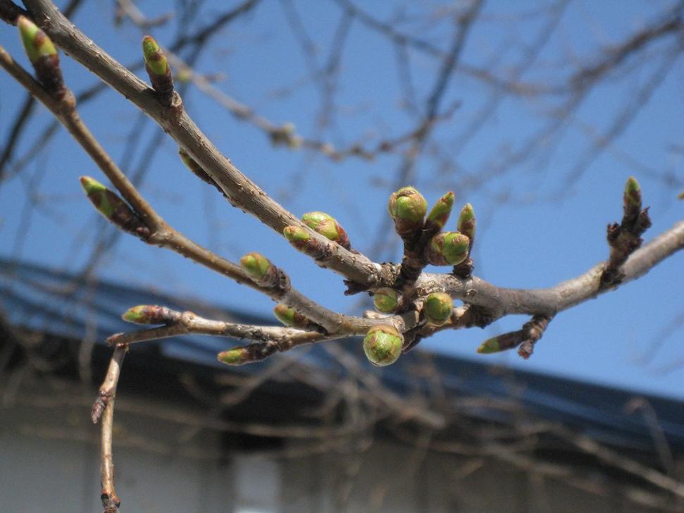 桜の状況1