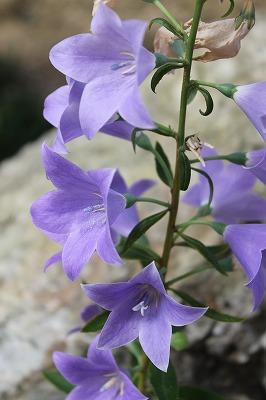 紫  (18)