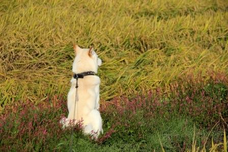稲とイヌタデの色がきれいだったので