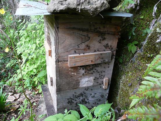 蜜蜂を襲う大アリ 10,5,6 001