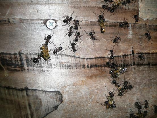 蜜蜂を襲う大アリ 10,5,6 004