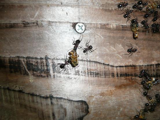 蜜蜂を襲う大アリ 10,5,6 006