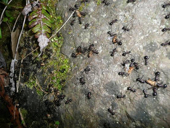 蜜蜂を襲う大アリ 10,5,6 012