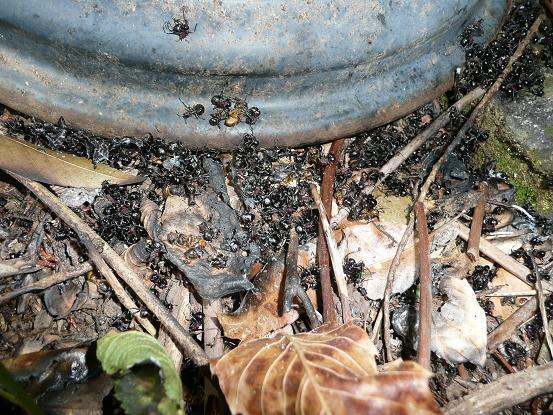 蜜蜂を襲う大アリ 10,5,6 014