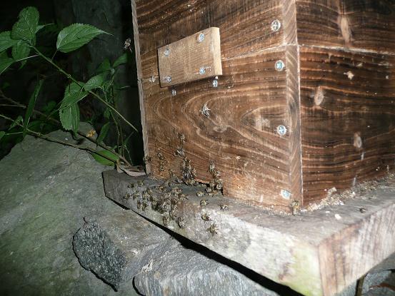 孫分蜂の王台(岩丁場) 10,5,11 003