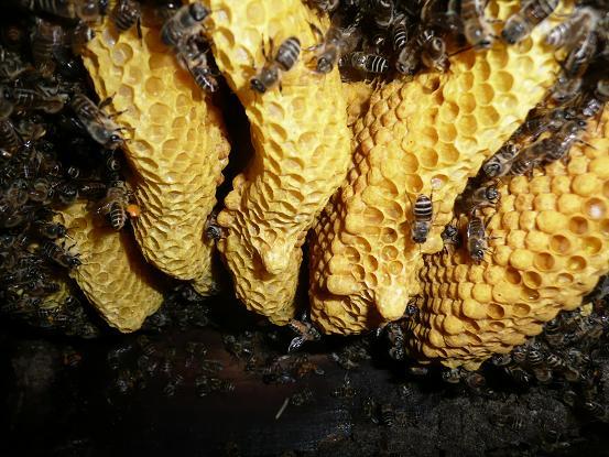 孫分蜂の王台(岩丁場) 10,5,11 007