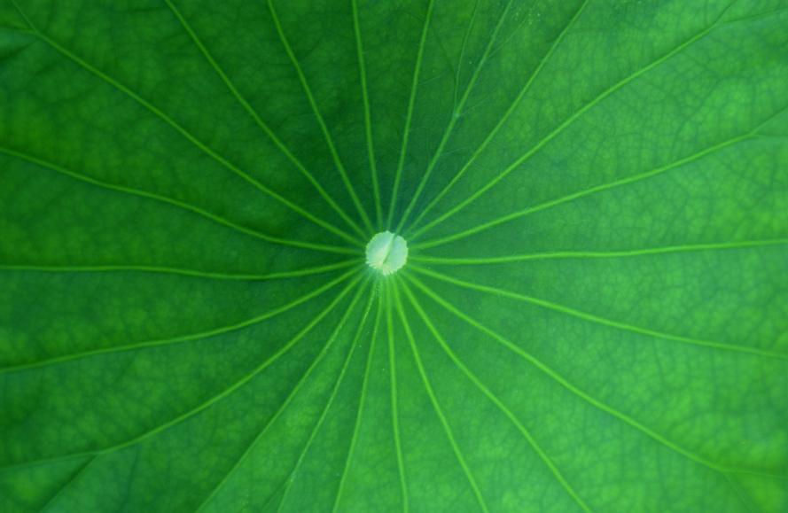 ハスの葉っぱs