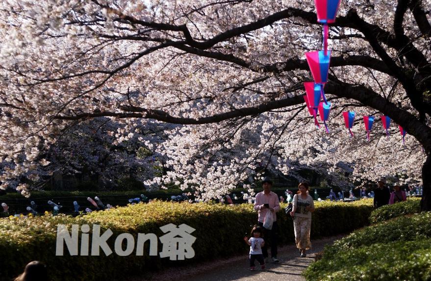 城沼 桜 親子で散歩 (42)X3s