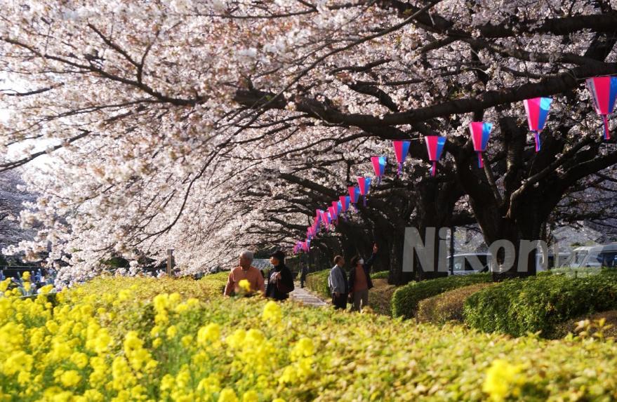 城沼 桜  菜の花満開(39)X3s