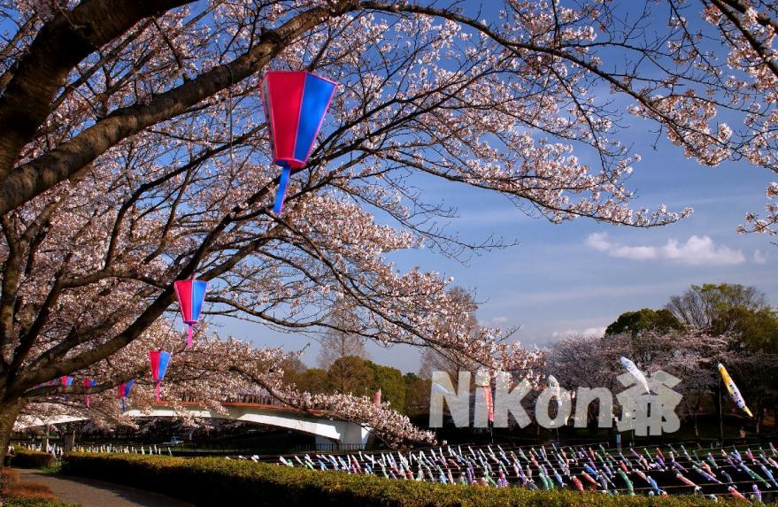 城沼 桜 祭り (54)X3s