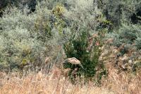 チュウヒ雌成鳥